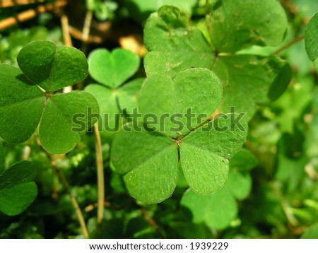 Green leafs of clover (  trefoil ).