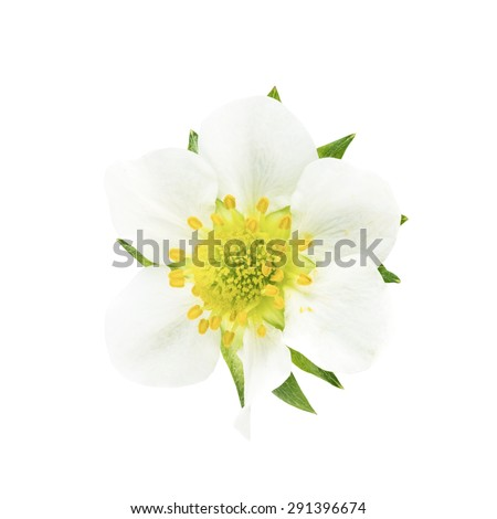 Green leafs of strawberry with flower isolated on white background - stock photo