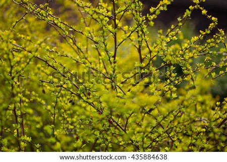 Green leafs on the branches, background - stock photo