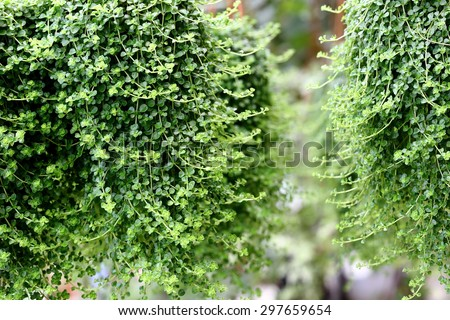 Green Leafy Plant Hanging in Garden, Green Nature Theme  - stock photo