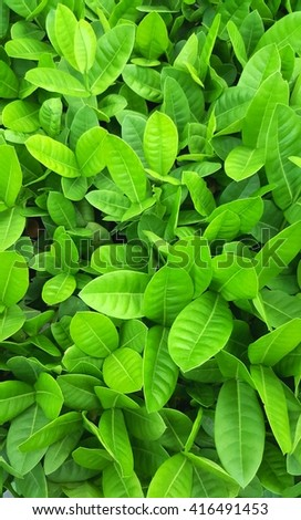 Green leave background. Green leave texture. Evergreen shrub background.