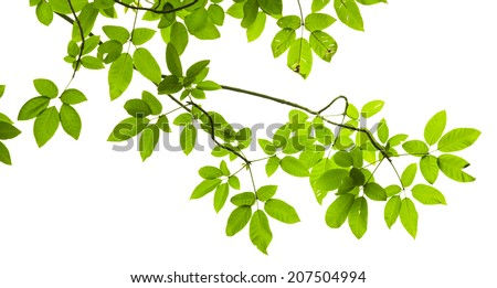 Green leave isolated on white background - stock photo
