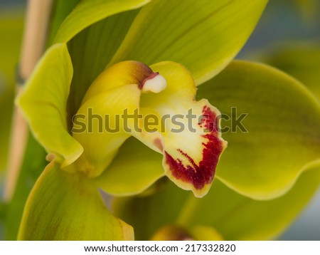 Green leaved orchid - stock photo