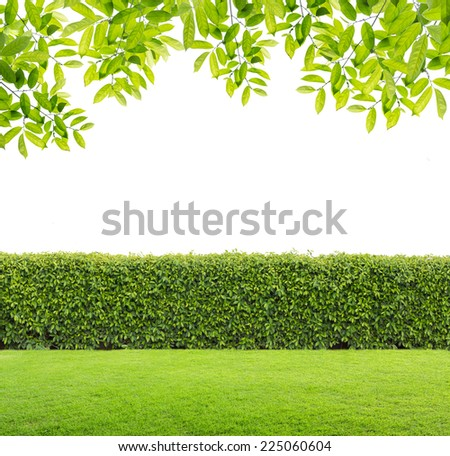 Green leaves and Green hedge isolated. - stock photo