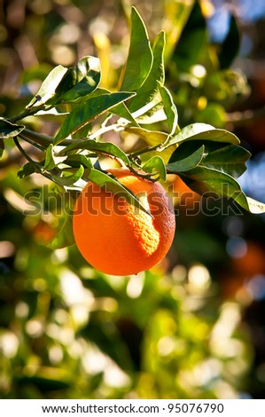 Green leaves and mature orang on the tree. - stock photo