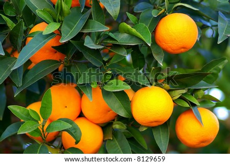 Green leaves and  Mmature oranges on the tree.