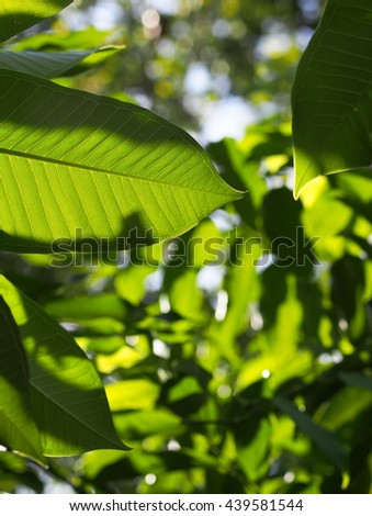 green leaves background from variety of green plant leaves shallow depth of field under shiny sunlight and environment in nature outdoor for relax mood backdrop and background - stock photo