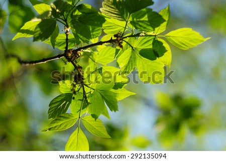 Green leaves background in sunny day. Shallow depth of field.  - stock photo