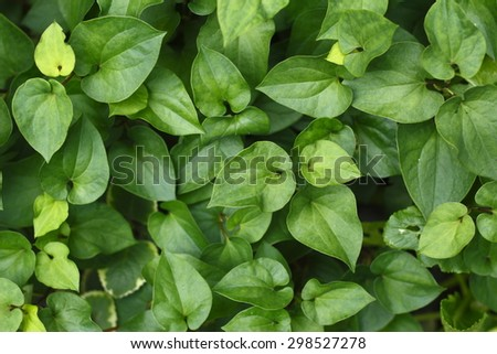 green leaves background of houttuynia cordata thunb. green leaves background.