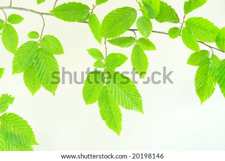 green leaves background on white  background