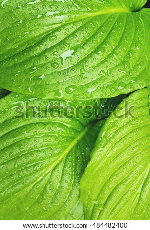 Green leaves background with rain drops. Water drops on green leaves.