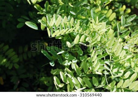 Green leaves bush. - stock photo