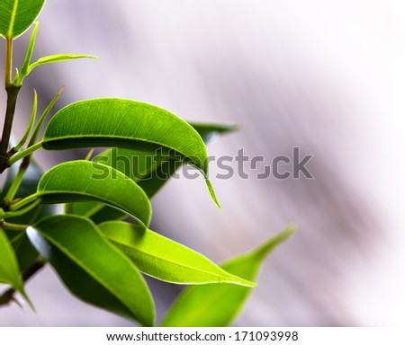 Green leaves close-up - stock photo