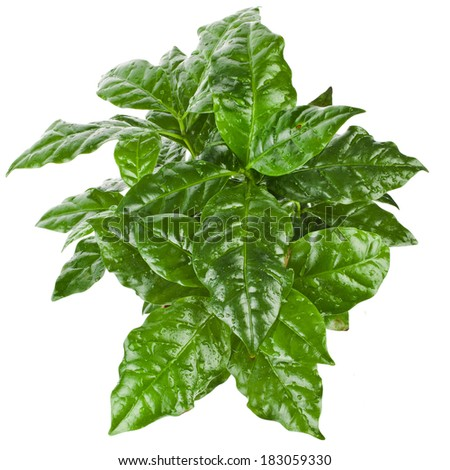 Green Leaves Coffee Arabica Plant Top View isolated on white background - stock photo