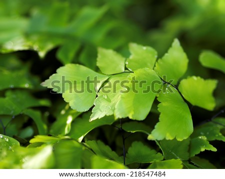 Green Leaves Ginkgo Fern with Water Drops - stock photo