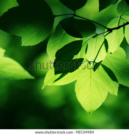 Green leaves in sunlight - stock photo