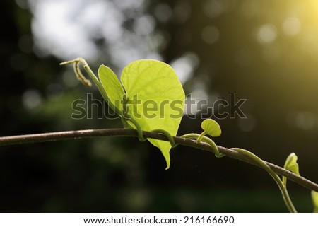 Green leaves in the morning. - stock photo