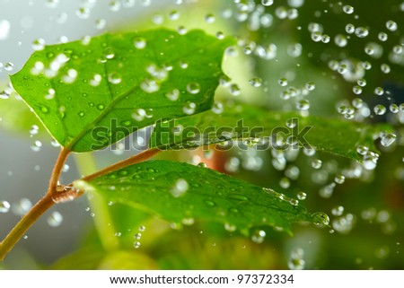Green leaves in the rain - stock photo