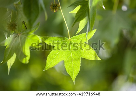 Green leaves in the sun