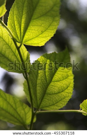 Green leaves in the sunlight, Green plant with sun peaking through leaves