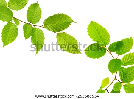 Green leaves isolated on white background. - stock photo