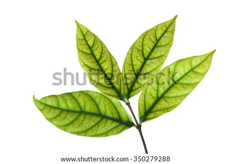 Green leaves isolated on white background.