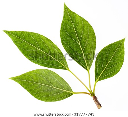 Green leaves isolated on white background. Nature background