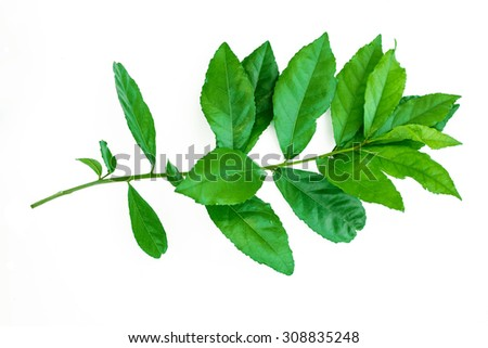 Green leaves isolated on white background,Tooth brush tree,Siamese rough bush - stock photo