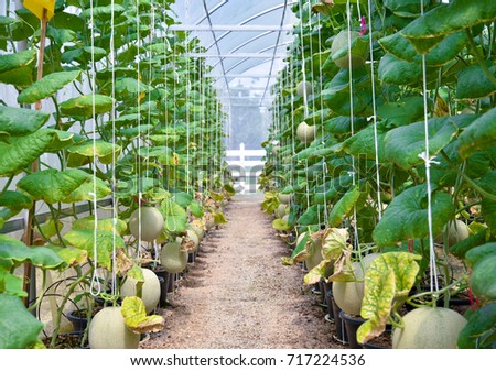 hydroponics garden. Green Leaves Melon In Organic Or Hydroponics Garden And Farm. Nature