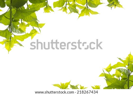 Green leaves mulberry two corner on white background - stock photo