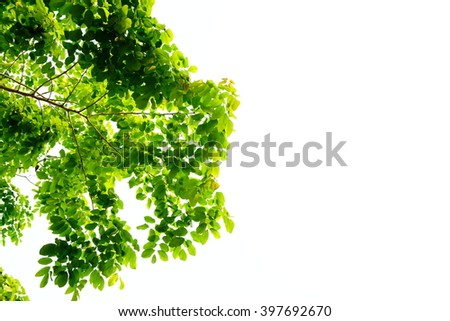 green leaves nature on white isolate background with empty space - stock photo