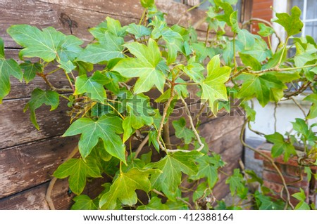 Green leaves of a ivy plant on wooden fence - stock photo