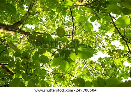 Green leaves of a tree in vibrant sunlight - stock photo