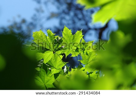 Green leaves of a tree with sun ray. selective focus - stock photo
