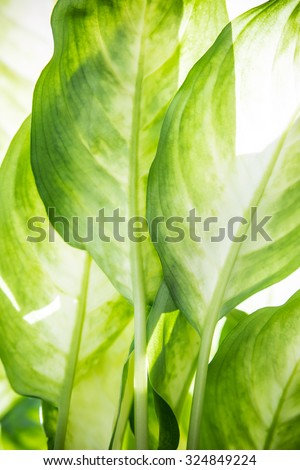Green leaves of a tropical plant close-up, nature and botanical background. - stock photo