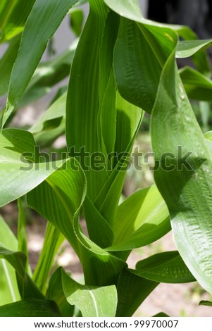 Green leaves of corn as a background