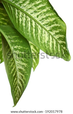 Green leaves of dieffenbachia over white background - stock photo