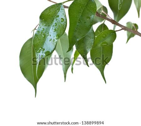 green leaves of Ficus Benjamin isolation - stock photo