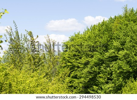 Green leaves of forest trees on a background of blue sky