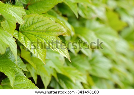 Green leaves of ivy covering the wall - stock photo