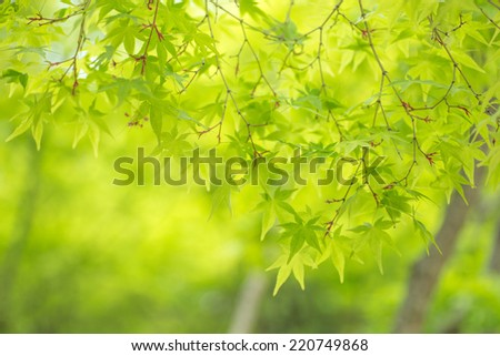 Green leaves of Japanese maple