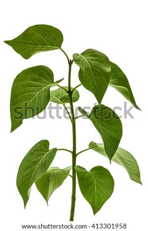 Green leaves of Lilac, Syringa vulgaris, isolated on white background - stock photo