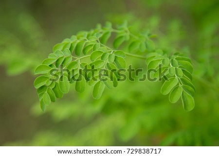 Green leaves of moringa on tree with copy space for create background