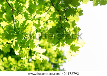 Green leaves of oak, bright days