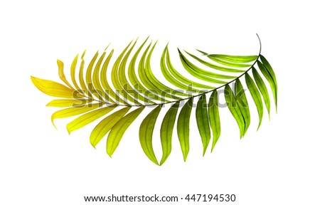 Green leaves of palm tree on white background - stock photo