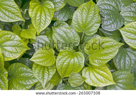 Green leaves of piper betle or betel is herb plant as background. - stock photo