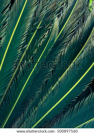 Green leaves of sago palm. Abstract nature texture background with exotic plant as pattern of tropical bird feathers.