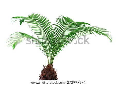 Green leaves of sago palm tree isolated on white - stock photo