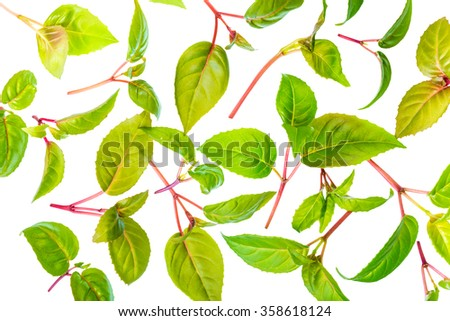 green leaves of seedling fuchsia is isolated on white background - stock photo