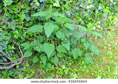 Green leaves of stinging nettles (Urtica dioica)behind her overgrown stone fence - stock photo